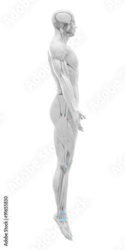 Vastus medialis - Muscles anatomy map\