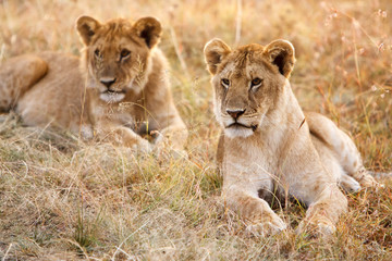 Couple of young lion cubs in natural grassland environment