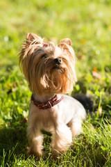 Fototapeta Yorkshire terrier, friendly pet, little dog