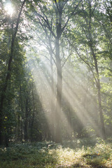 Morning in foggy forest. Masovian district in Poland