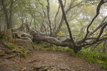 A gnarled old tree in the Blue Ridge Mountains of Western North Carolina.