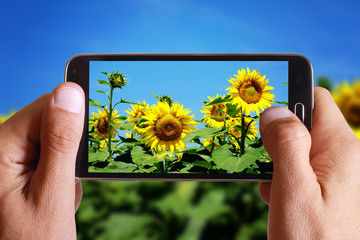 Male hand taking photo of field of sunflowers with cell, mobile phone.
