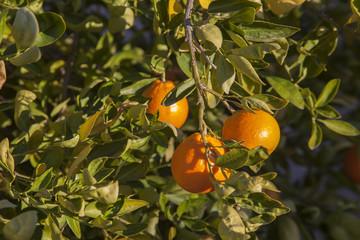 Ripe Tangelos on a tree