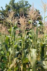 Corn stalks in a corn field