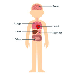 Male organ chart