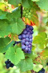 Wine grapes growing in vineyard