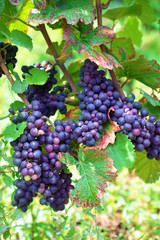 Red wine grapes growing in a vineyard