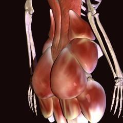 human body hip muscls