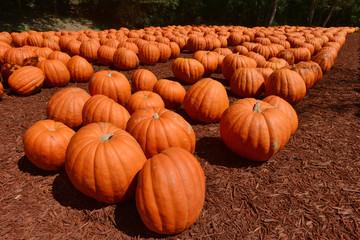 Pumpkin harvest on a farm