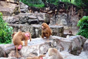 シンガポール動物園のマントヒヒ