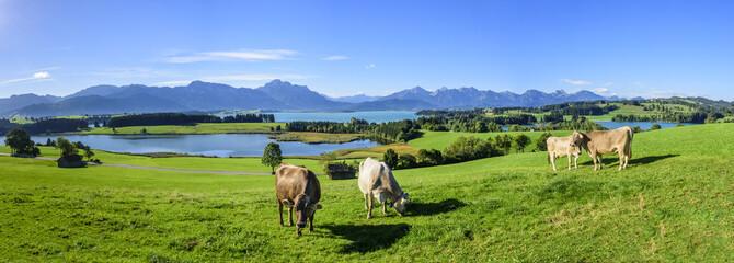 Wall Mural - grasende Kühe am Forggensee im Ostallgäu