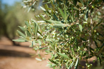 Olive tree branch detail