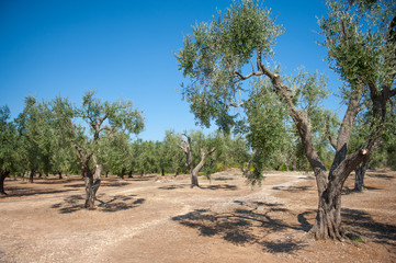 Olive trees in large agricultural field