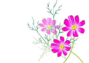 pink cosmos flower and leaves on white background,Vector illustration