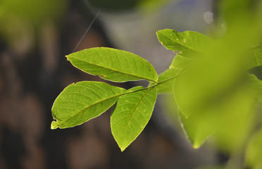 Green leaves of walnut tree on sunrise