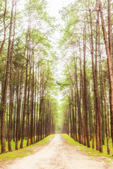 Beautiful nature in the strong pine forest