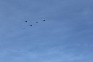 Fünf Pelikane fliegen am Himmel