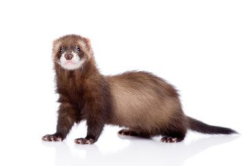 ferret looking at camera. isolated on white background Wall mural