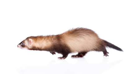 running ferret. isolated on white background Wall mural