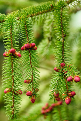 Red fir cone