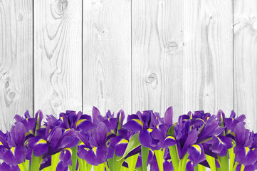 Blueflag or iris flower on white wooden background