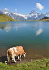 Wall Mural - Cows in an Alpine meadow. Jungfrau region, Switzerland