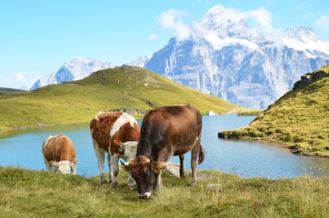 Wall Mural - Cows in an Alpine meadow. Jungfrau region, Switzerland