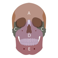 vector illustration of human head bones types. front view
