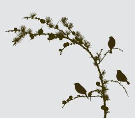 birds on a spruce branch
