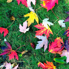 Bright maple leaves on green grass