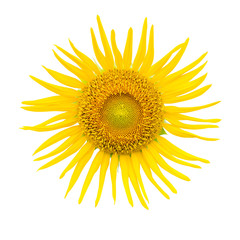 close up sunflower on isolated white background