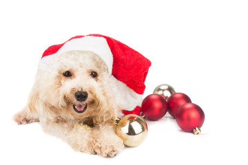 Smiling poodle dog in santa costume posing with Christmas ornaments