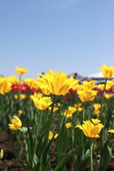 Papiers peints Narcisse Yellow Tulips closeup