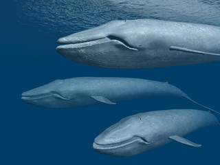 Three Blue Whales