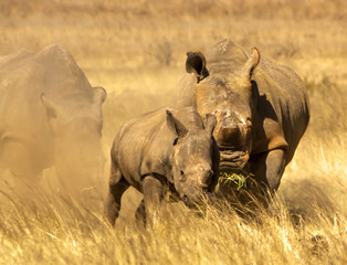 Rhino mother and baby on the run