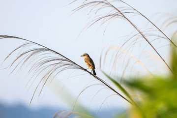 Stonechat female in nature