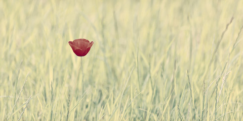 Romantic styled image of a single poppy in nature
