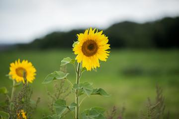 Fotoväggar - Sonnenblume in den Bergen