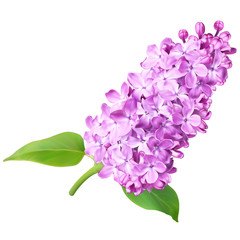 Purple syringa (lilac) flowers