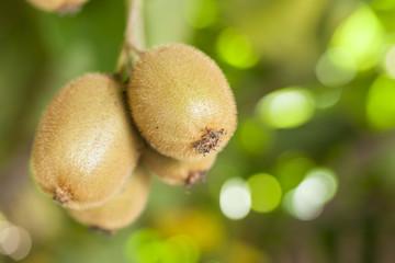 Kiwi fruit on a branch