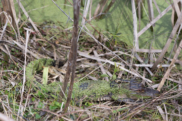 Juvenile Alligator