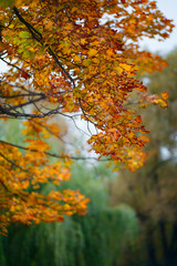 Blurred orange maple leaves with shallow depth of field. Autumn concept background.