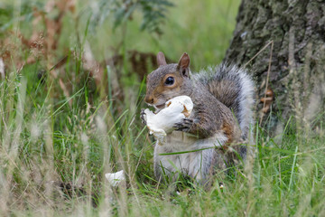 Grey or Gray Squirrel (sciurus carolinensis) eating a mushroom or fungi