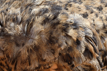 Feathers of an ostrich