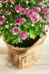 Beautiful purple chrysanthemum flowers, closeup