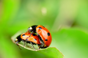 Ladybugs in love - macro shot, shallow depth of field