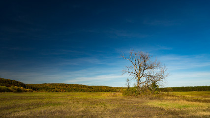 Dead tree in front of yellow trees and blue sky, Russia