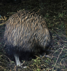 A common brown kiwi, Apteryx australis,