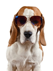 beagle in sunglasses isolated on white