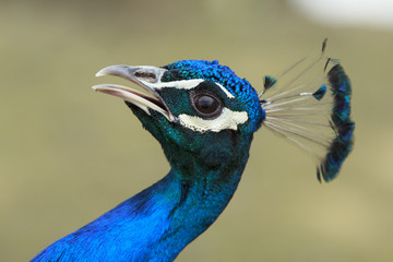 Peacock with open beak